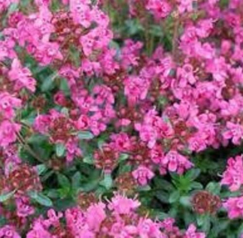 CREEPING PINK CHINTZ THYME Thymus Serpyllum herb plant in 100mm pot