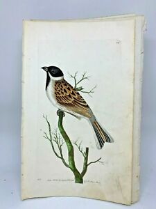 Reed-Bunting-1783-RARE-SHAW-amp-NODDER-Hand-Colored-Copper-Engraving