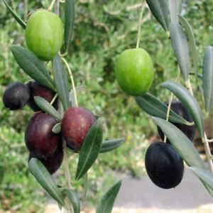 Olive-Tree-Manzanillo-Live-Plant-Olea-Europaea-3-Inch-Deep-Pot-Indoor-Garden