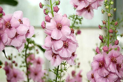 80 Samen Königskerze von Phoenicia Verbascum Phoeniceum G600 Seeds Semilla