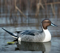 Avery Greenhead Gear Ghg Pro Grade Pg Ls Pintail Floater Duck Decoys 6