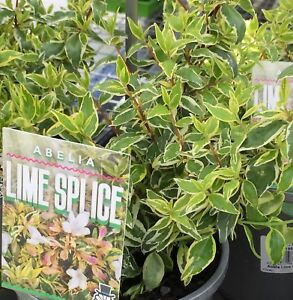 Lime Splice Abelia Grandiflora Nana Variegated Fragrant Flowers