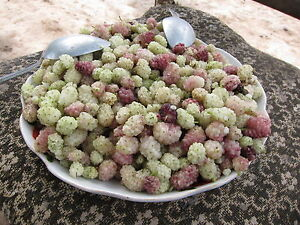 Rare-seeds-Honey-White-Mulberry-from-Pamir-great-dried-or-fresh-10-fresh-seeds