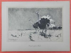 Les Autruches En Fuite Struthio Camelus Wilhelm Kuhnert Lithographie 1920-afficher Le Titre D'origine 100% De MatéRiaux De Haute Qualité