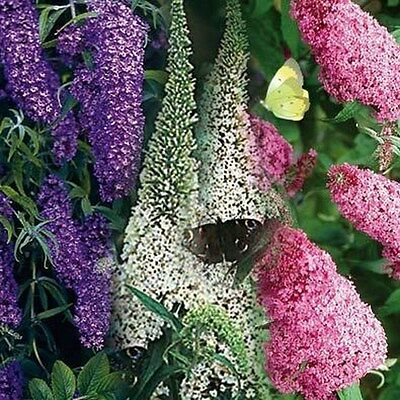 Butterfly Bush- Mixed Colors- 15 Seeds