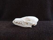 "Real XXXL 6-1/8"" Red Fox Skull Taxidermy Hunting Trapping Fishing Canine Bone"