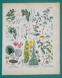 MEDICINAL-PLANTS-Cyclamen-Mullein-Honeywort-Pimpernel-1845-H-C-COLOR-Print