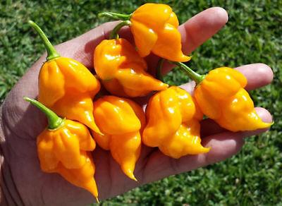 15 Graines de piment Orange Habanero Chilli pepper seeds