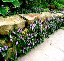 Kenilworth Ivy - 200 SEEDS -  Cymbalaria Muralis - Perennial rockery flower