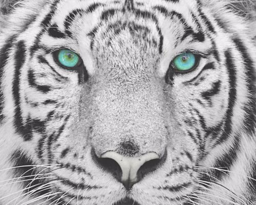 Teal Gray Black Wall Art Photo Print White Tiger Home Room Decor Picture Matted
