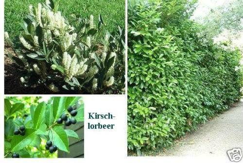 100 Samen /& Sichtschutz immergrüner Lärm Im Winter aussäen Lorbeerkirsche