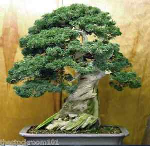Beautiful Japanese Juniper Bonsai Tree Seeds Juniperus Chinensis Ebay