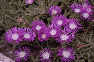 30-DELOSPERMA-STARDUST-PURPLE-ICE-PLANT-GROUND-COVER-PERENNIAL-FLOWER-SEEDS