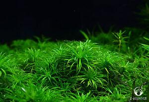 Syngonathus-sp-Madeira-Live-Aquarium-Fish-Tank-Plant