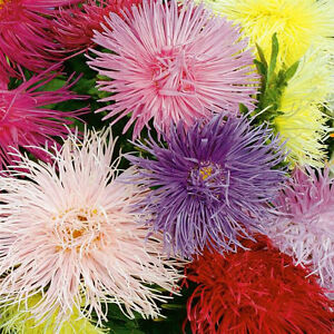 aster-china-CREGO-MIX-flower-555-seeds-groco