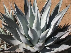 Agave-desertii-exotic-succulent-rare-cactus-seed-plant-aloe-garden-pot-30-SEEDS