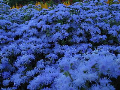 ageratum Mexicanum x57 Floss Flower Seeds Samen Structural Disabilities 300 Graines Celestine Du Mexique
