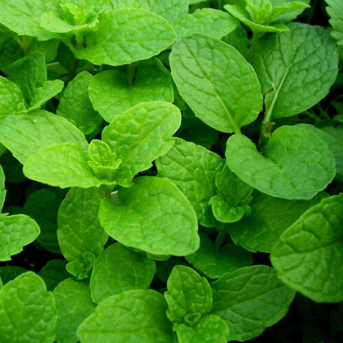 500x Spearmint Samen Echte Pfefferminze Mint Mentha pflanze  # Q7P2