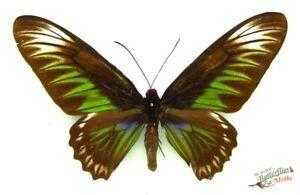 Trogonoptera-Brookiana-Verde-Farfalla-Set-x1-A-Femmina-Esemplare-Malesia-Insect