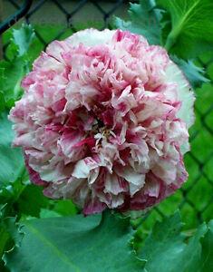 4000 graines de pavot pivoine flemish antique rose pourpre et cr me ebay. Black Bedroom Furniture Sets. Home Design Ideas