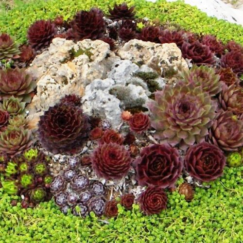 10 Ableger Sempervivum immer grüne Sukkulente 1-2 cm frosthart für Garten*RRMN