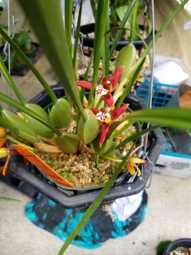 Coconut Orchid Maxillaria tenufolia Fragrant pina colada starter