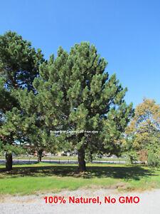 100 seeds - Red Pine - tree -  Pinus resinosa - Pin Rouge - Norway pine -