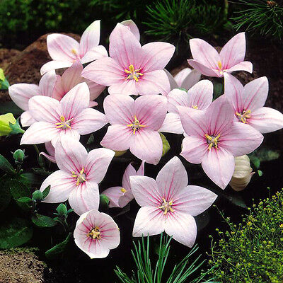 BALLOON FLOWER ASTRA PINK bellflower - Platycodon grandiflorus - 110 seeds