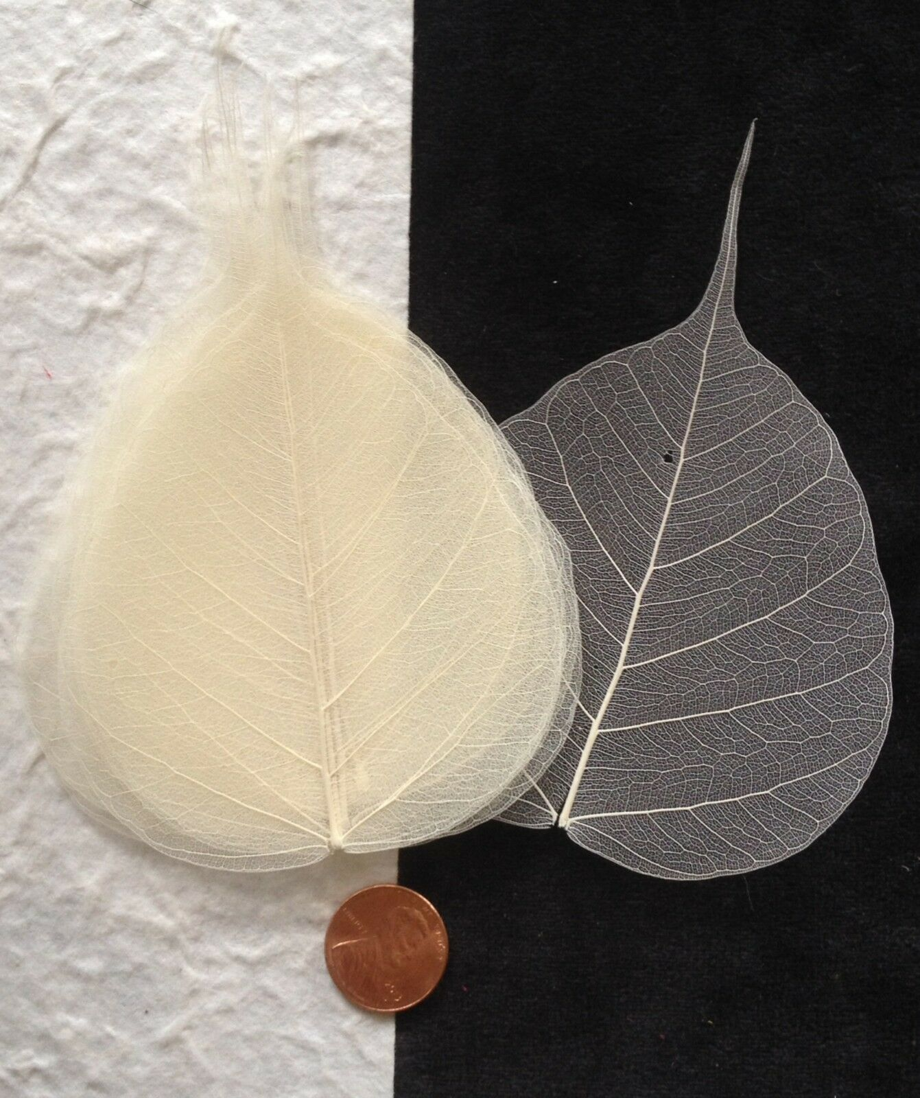 25 leaves Dyed Gold Squash po bo Pho Banyan skeleton leaf see through Medium