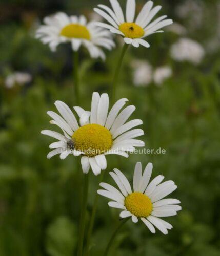 """Primavera-Margerite pianta nel 9cm-Pentola Leucanthemum vulgare /""""maikönigin/"""""""