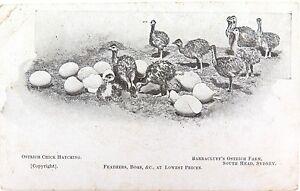RARE-EARLY-1900-S-POSTCARD-BARRACLUFF-S-OSTRICH-FARM-SOUTH-HEAD-SYDNEY
