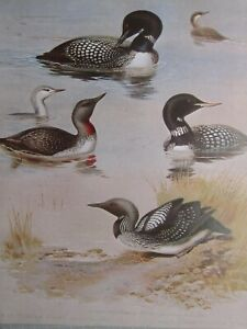 WILDLIFE PRINT ~ RED THROATED DIVER GREAT NORTHERN DIVER WHITE BILLED THORNBURN