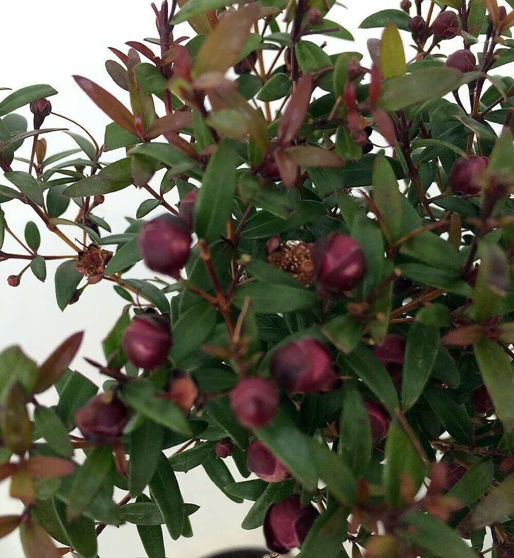 Variegated Biblical Greek Myrtle Plant Myrtus Ancient Herb 4 Pot For Sale Online Ebay