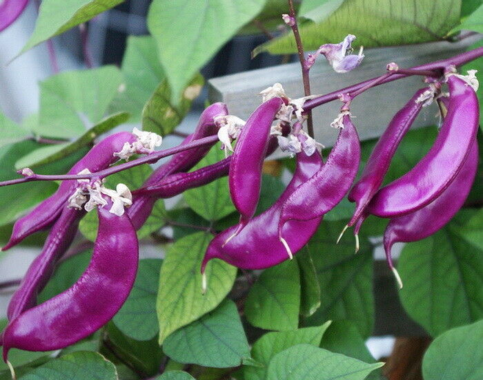Bangladeshi Vegetable Seeds Red Hyacinth Bean, Sheem Beej, লাল উরি 10 Seeds
