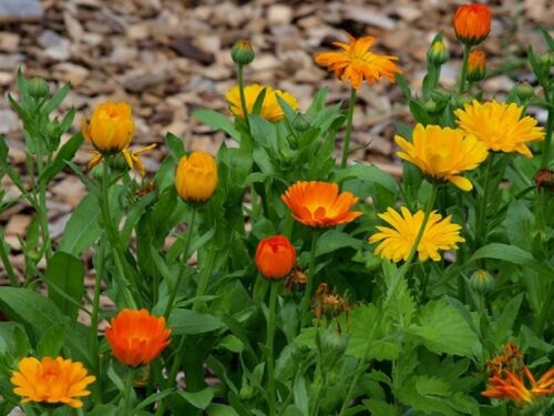 Marigold Medicinal Flowers Seeds 1000 Graines de Souci Calendula Officinalis