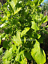 Amaranth-White-Queen-Delicious-Leafy-Spinach-100-Seeds