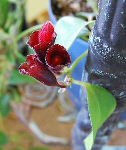 Image Is Loading Lipstick Plant Purple Flowering Vining Aeschynanthus Radicans Hoya