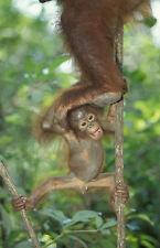 Ansichtskarte: die Affenleiter:  kletterndes Orang Utan - Kind