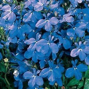 Details About Lobelia Riviera Blue Sky 50 Multi Seeded Pellets Bedding Plant Annuals