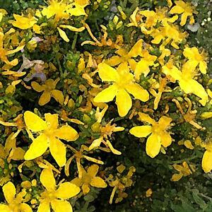 Travelers Saint John's Blend (Herbal Tea), loose/bulk from $2.75 (1 oz.)