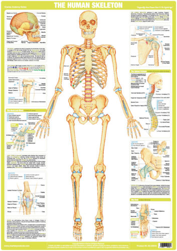 Human Skeleton Poster Anatomical Muscles Body Anatomy Gym Poster