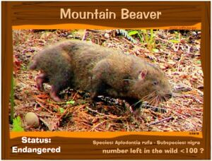 The-Mountain-Beaver-postcard-a-California-Endangered-Animal-alert
