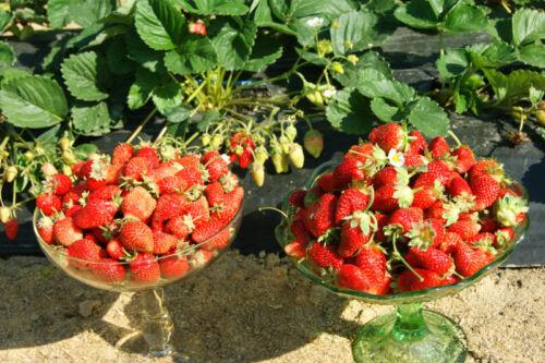Fraise Tristar graines GRANDE-fruited perpétuel rouge fraise Ukraine 10 Graines