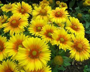 50-Gaillardia-Seeds-Arizona-Apricot-Blanket-Flower-Garden-Starts-Nursery