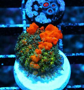 Sunkist Bounce Mushroom Zoanthids Zoa SPS Corals WYSIWYG