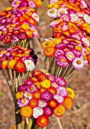 "300+DWARF STRAWFLOWER MIX Seeds 18/"" Floral Dried Arrangements Garden//Containers"