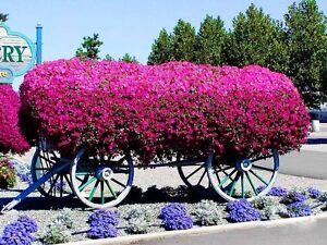 PETUNIA-1000-SEEDS-VOLET-BALCONY-FLOWER-Petunia-violaceae