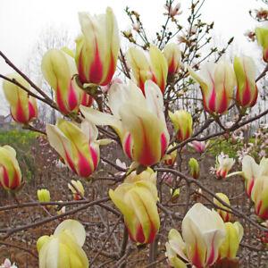 Hardy Perennial Magnolia Sunrise Tree 1 Or 2 Bare Roots Or Pot
