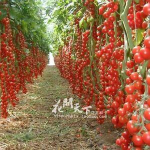 200pcs m lange color tomate graines plante pots planters plantes jardin maison ebay. Black Bedroom Furniture Sets. Home Design Ideas