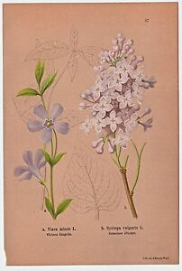 Blumen-Blueten-Kraeuter-Kleines-Singruen-Gemeiner-Flieder-Lithographie-1886